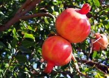 Ripe Spanish pomegranates on a tree Royalty Free Stock Photography