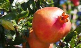 Ripe Spanish pomegranates on a tree. Spain Stock Photography
