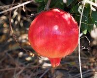 Ripe Spanish pomegranates on a tree. Spain Stock Images
