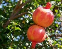 Ripe Spanish pomegranates on a tree. Spain Royalty Free Stock Image