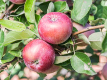 Ripe Spartan apples on the tree. Closeup shot Royalty Free Stock Images