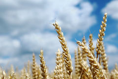 Ripe spike of wheat on agriculture field Royalty Free Stock Photography