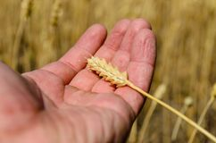 Ripe spike of wheat in farmer hand. Ripe spike of wheat in a farmer hand Royalty Free Stock Photo