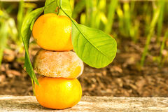 Ripe and spoiled Clementine Royalty Free Stock Photography