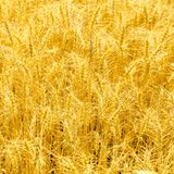 Ripe stems in the rays of sunlight. Golden wheat field on sunny autumn day