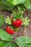 Ripe strawberries Stock Image