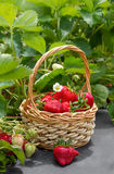 Ripe strawberries in a basket Royalty Free Stock Images