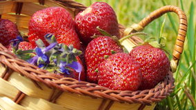 Ripe strawberries in a basket. Ripe, red, bright strawberries in a small basket - sweet summer harvest Royalty Free Stock Photos