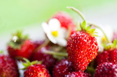 Ripe strawberries. With flower, low depth of field Royalty Free Stock Image