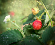 Ripe strawberries and flowers on bed in garden Royalty Free Stock Photos