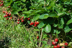Ripe strawberries in the garden Royalty Free Stock Photography