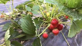 Ripe strawberries stock footage