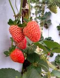Ripe strawberries in garden. The strawberry, whose scientific name Fragaria ananassa, consists of a pseudofruit of the Rosacease family. It belongs to the family stock photos