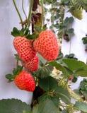 Ripe strawberries in garden stock photos