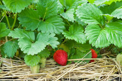 Ripe strawberries in the garden Royalty Free Stock Image