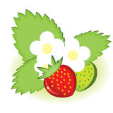 Ripe strawberries and green with flowers Royalty Free Stock Images