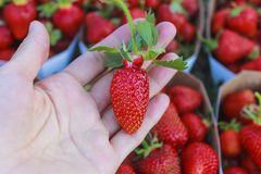 Ripe strawberries on the palm. royalty free stock photography