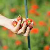 Ripe strawberries in the palms Stock Photos