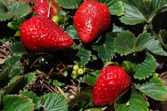 Ripe strawberries on plant. Royalty Free Stock Photos