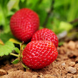 Ripe strawberries in the plant. Closeup of some ripe strawberries in the plant, in an organic orchard royalty free stock photos
