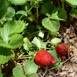Ripe strawberries in the plant. Closeup of some ripe strawberries in the plant, in an organic orchard stock images