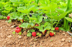 Ripe strawberries in the plant. Some ripe strawberries in the plant, in an organic orchard Stock Photography