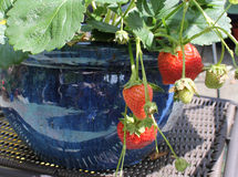Ripe Strawberries in Garden Pot Stock Image
