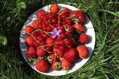 Ripe strawberries and red currants with the blue Stock Photography