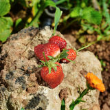 Ripe strawberries on a rock. Closeup of some ripe strawberries on a rock, in an organic orchard Royalty Free Stock Image