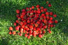 Strawberries, mountain, heap, placer, lots of berries on green grass royalty free stock photography