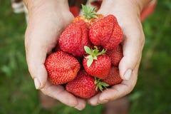 Ripe strawberries in senior woman hands. Fresh ripe strawberries in working senior old woman hands close-up Stock Image