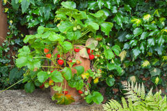 Ripe strawberries in a terracotta pot Royalty Free Stock Image