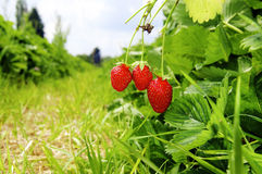 Ripe Strawberries Royalty Free Stock Photos