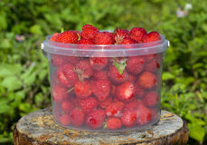 Ripe strawberries in a transparent bucket Royalty Free Stock Image
