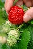 Ripe strawberry being plucked Royalty Free Stock Photo
