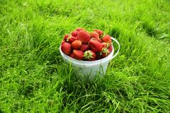 Ripe strawberry in bucket Stock Photo