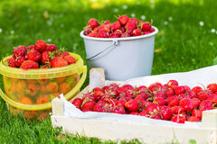 Ripe strawberry in bucket on green grass in summer Stock Photo