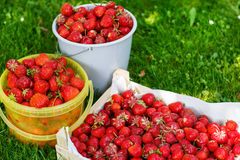 Ripe strawberry in bucket on green grass in summer Stock Image