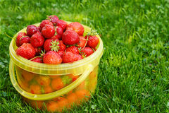 Ripe strawberry in bucket on green grass in summer Stock Photography
