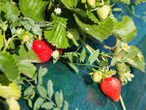 Ripe strawberry bush Royalty Free Stock Photo