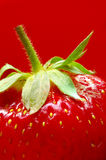 Ripe strawberry close-up on a red background Royalty Free Stock Image