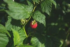 Ripe Strawberry Fruit Stock Photo