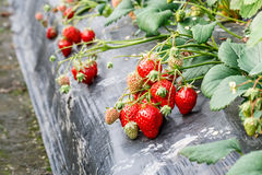 Ripe strawberry fruit grows in the plantation Stock Photo