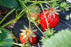 Ripe strawberry fruit grows in the plantation Stock Photos