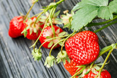 Ripe strawberry fruit grows in the plantation Royalty Free Stock Images