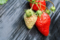Ripe strawberry fruit grows in the plantation Stock Images