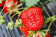 Ripe strawberry fruit grows in the plantation Royalty Free Stock Photo