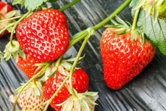 Ripe strawberry fruit grows in the plantation Stock Image