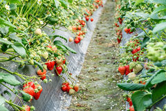 Ripe strawberry fruit grows in the plantation Royalty Free Stock Photos