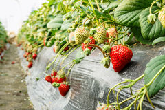 Ripe strawberry fruit grows in the plantation Royalty Free Stock Image